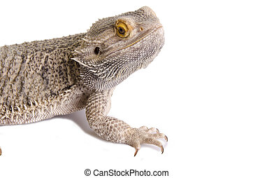 the bearded dragon manual free download