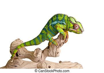 (5), colorido, camaleón
