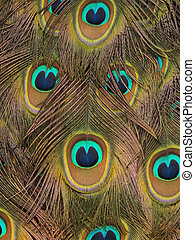 Peacock feathers - Pretty peacock feathers for a abstract...
