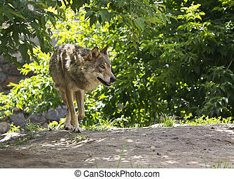 gray wolf in nature on a sunny lawn