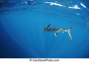 White marlin swimming in ocean - A white marlin Tetrapturus...