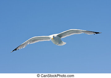 A herring gull (Larus argentatus) flying in the blue sky