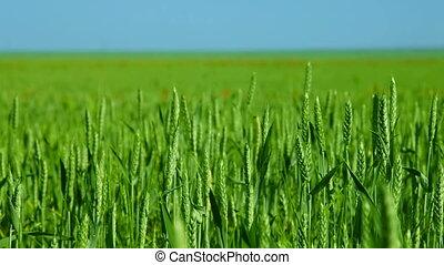 DOLLY: Green Wheat Field