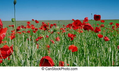 Red Poppies And Green Wheat Under Blue Sky, Dolly Shot