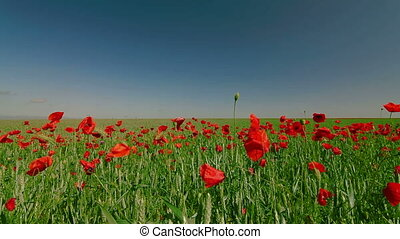 Poppy Field And Blue Sky, Tilt Up