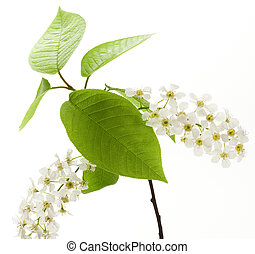 Bird cherry tree flowers on white