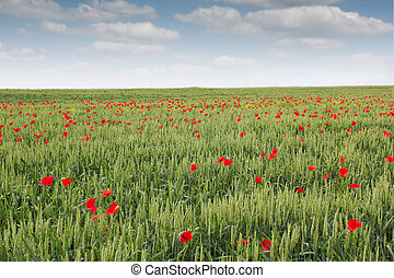 green wheat and poppy flower