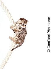 Scottish fold kitten climbing on rope isolated on white...