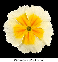 Primrose Flower Isolated - White with Yellow Center