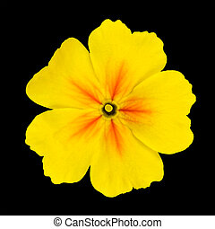 Yellow Primrose Flower Isolated on Black