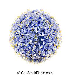 California Lilac Blue Shrub Isolated on White - California...