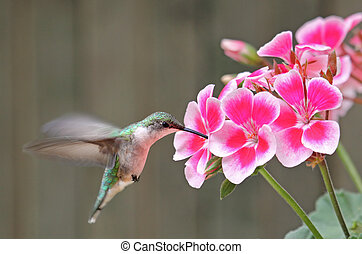 Ruby-throated Hummingbird and Flower - Ruby-throated...