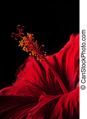 Close up of red hibiscus flower and stamen
