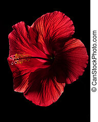 Red hibiscus flower on black