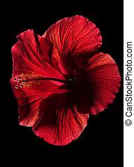 Hibisco, flor, pretas, vermelho