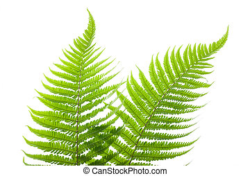 Ferns - two ferns isolated on white