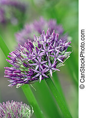 Purple onion flower in full bloom