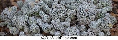 Fuzzy White Cactus