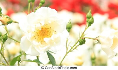 rose and carpenter bee - I took a rose and a carpenter bee