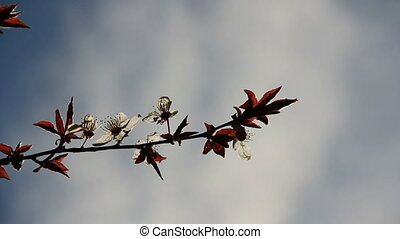 Peach-tree twig with flowers on the white clouds sky...