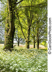 Trees and blooming Cow parsley in spring - Trees and...