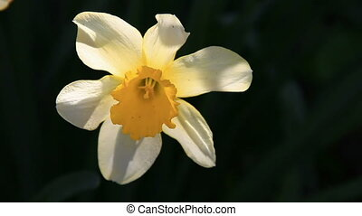 Narcissus flower close