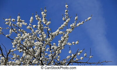 Pear-tree blossoming at blue sky background