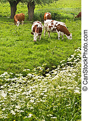 Pollard-willows, cow parsley and grazing cows in spring
