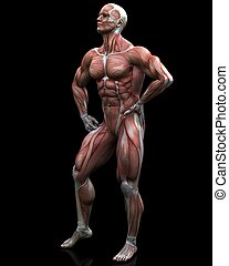 stance - a male model of human anatomy
