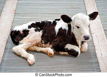 The Young calf in farm
