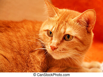 Yellow-eyed orange cat