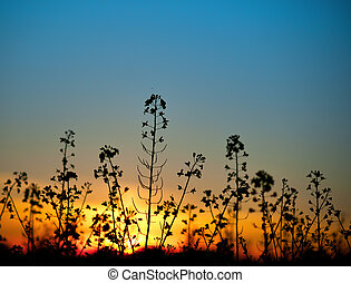 rapeseed blossom at sunset - Close up of rape seed oil plant...