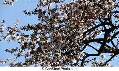 Cherry-plum blossoming at pale blue sky background