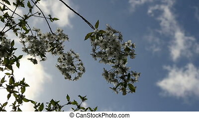 Blooming cherry sprig on the lapse clouds sky