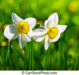 narciss - flowers Narcissus