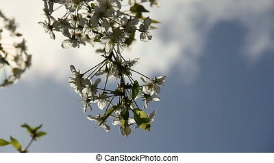 Cherry-tree blossom sprig sunlit - Sunbeams on the cherry...