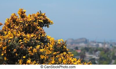 View of the castle in Edinburgh, with gorse flowers (Ulex...