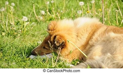 collie chewing