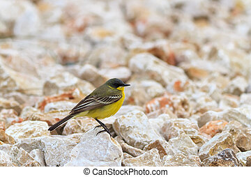 yellow wagtail warble standing on the rocks