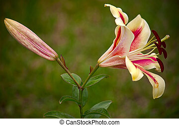 lilium - Beautiful lily close-up against background of green...