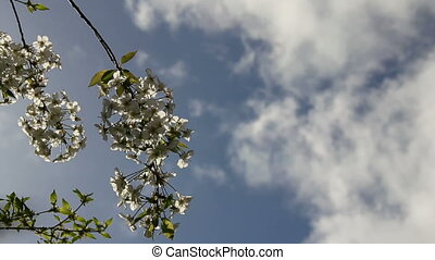 Sunbeams on blossoming cherry-tree flowers