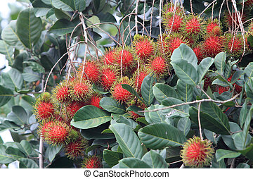 Tropical fruit, Rambutan on tree - Tropical fruit, Rambutan...