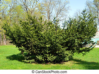 yew juniper prickly plant grow lawn spring garden - Juniper...