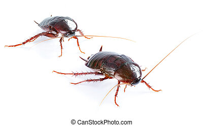 art couple Cockroach bug isolated on white background -...