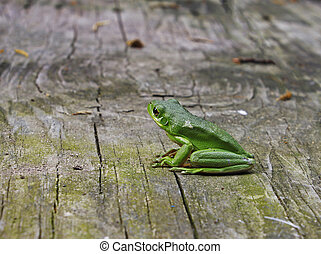 An American Green Tree Frog outside on an old piece of wood...