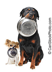 rottweiler chihuahua and food bowl - portrait of a cute...