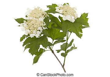 Viburnum - branch Viburnum (Viburnaceae) with flower and...