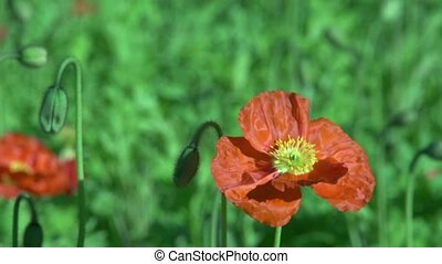 Poppy flower 2 - Dunedin, New Zealand. Close up of Poppy...