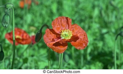 Poppy flower - Dunedin, New Zealand. Close up of Poppy...
