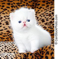 白, イラン人, 子ネコ